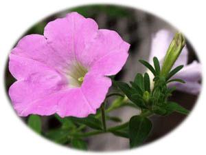 11月26日の誕生花ベツニア