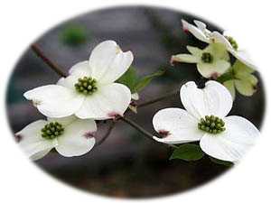 3月18日の誕生花
