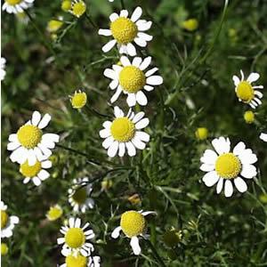 カミツレ カミツレの花言葉  か行 かではじまる花 カミツレ 和名:カモミー